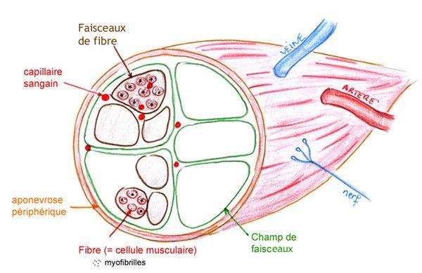 """Résultat de recherche d'images pour """"Coupe transversale d'un muscle"""""""
